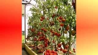 Выращивание помидор в теплице(Видео о выращивании помидор в теплице. http://parniki.biz/, 2014-05-26T14:26:50.000Z)