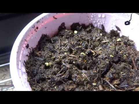 Growing Super Hot Peppers 01 - Germinate: 3 Different Methods