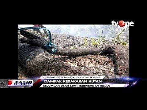 VIRAL!! Penampakan Ular Raksaksa yang Mati Terbakar Akibat Kebakaran Hutan