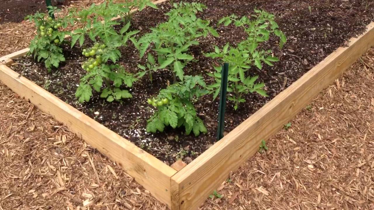 planted corn in raised beds - youtube