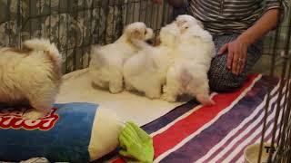 Coton de Tulear Puppies For Sale - Isabella 3/4/21