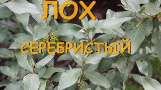 видео Фундук Серебристый