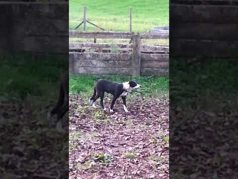 COLLIE HEADING DOG JACK FIRST TIME ON YARDS