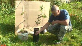 видео Выращивание саженцев плодовых деревьев