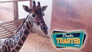 APRIL THE GIRAFFE GIVES BIRTH DURING LIVE STREAM VIDEO - Double Toasted Funny Podcast Highlight
