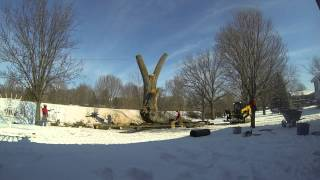 Tree Removal | Cotton Wood | 7FT Diameter | 259D Caterpillar - JJ and Sons Tree Service