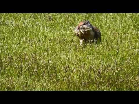 Columbia Ground Squirrel (Urocitellus columbianus), Metcalf National Wildlife Refuge, Montana, USA