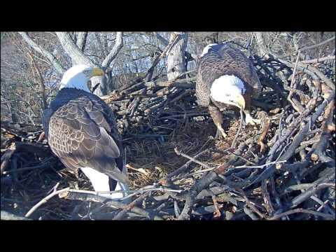 EAGLE CAM 2017 - Eagles preparing nest - ECC, MPDC - Washington, DC