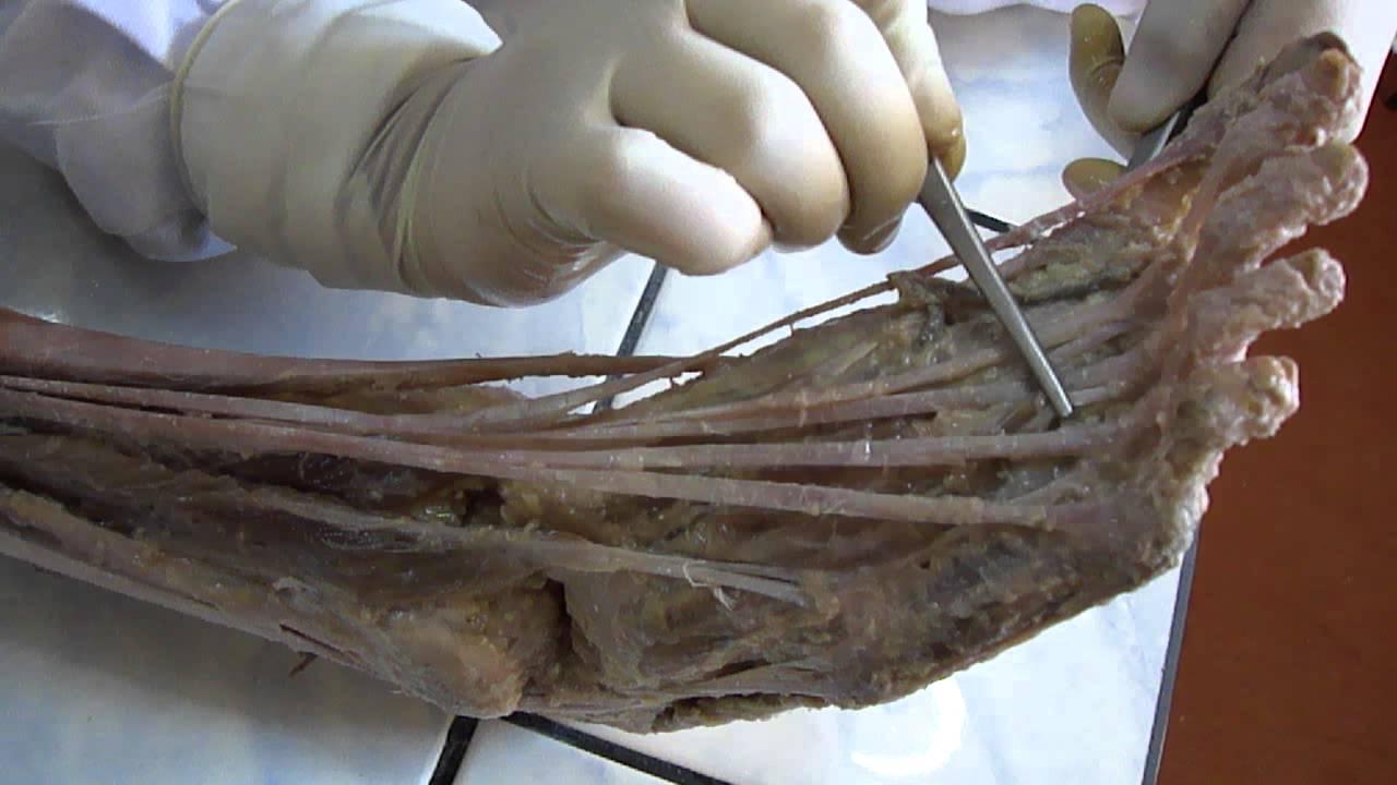 Musculos de la pierna HD - YouTube