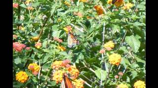 Butterfly Garden Plants Design Ideas