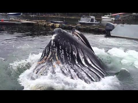 Humpback Whale Nearly Docks At Alaska Marina
