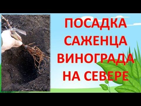 КАК ПОСАДИТЬ ВИНОГРАД В СРЕДНЕЙ ПОЛОСЕ. Посадочная яма для винограда. Посадка саженца винограда. | виноградник | московской | выращивать | посадить | виноград | фазенда | области | огород | дача | сев