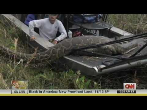 Massive 16 Foot Florida Burmese Python Eats Deer -  44 Inch Girth