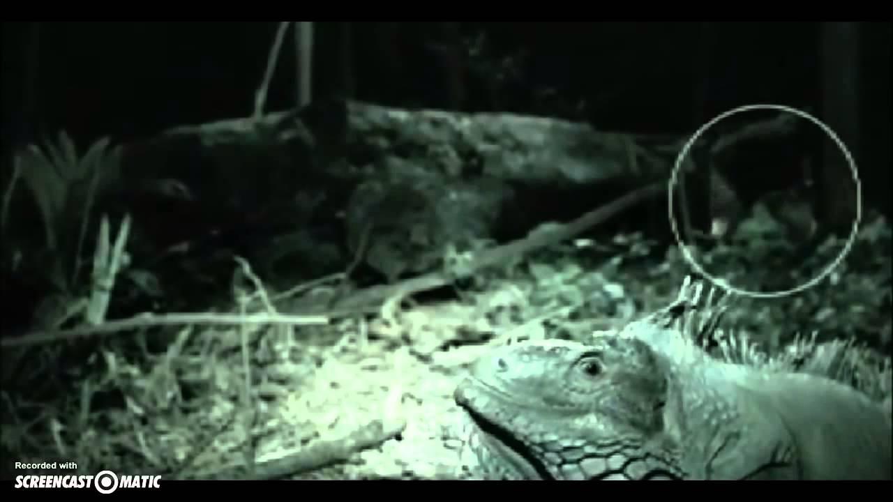 Un Dodo Real Grabado En La Selva De Costa Rica - YouTube