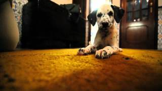 Dot The Alligator-dalmatian Cross Puppy