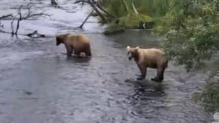 grazer s cubs in tree grazer scolds not274 or overflow july 27 2016