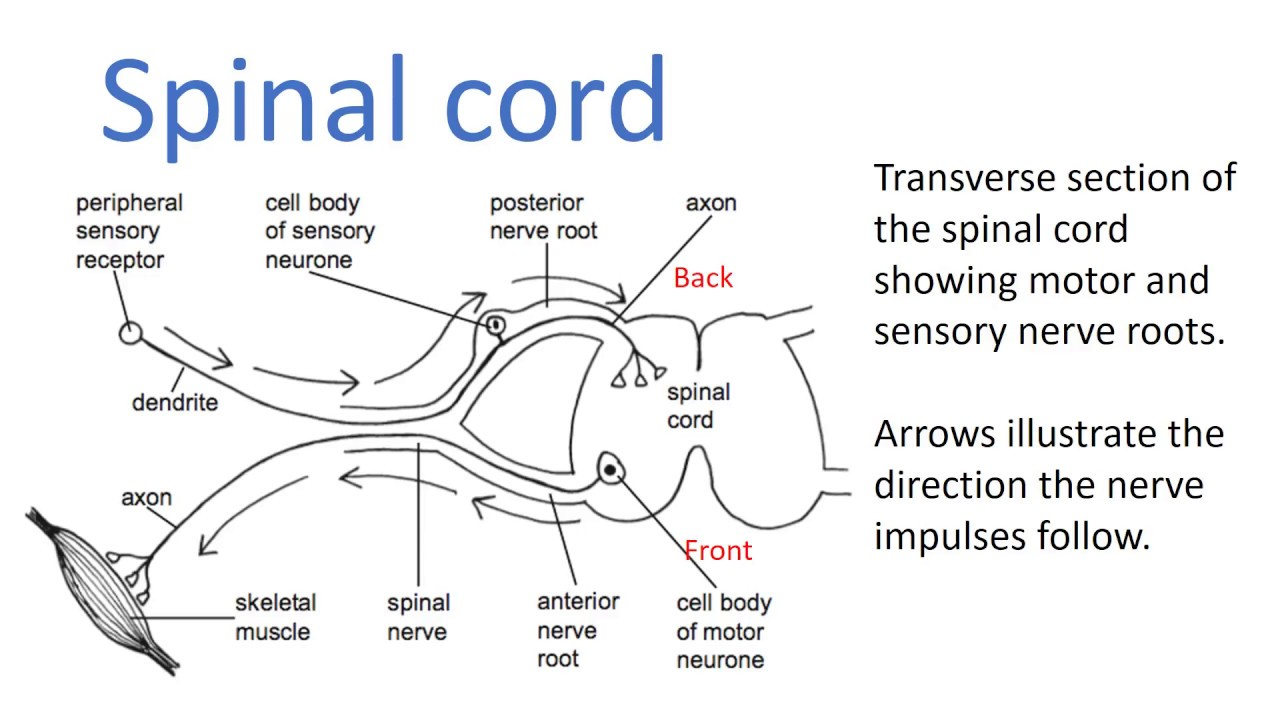 Detailed Neuron Diagram Jvc Kd R320 Wiring Nervous System 12 Lecture On Neurons And Nerves Youtube