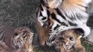 """Четверо детенышей амурского тигра родились  в крымском сафари-парке """"Тайган"""""""