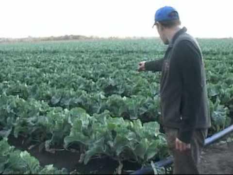 Как получить хороший урожай цветной капусты? Как вырастить