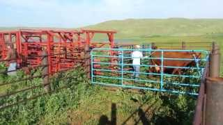 Low Stress Cattle Handling