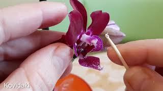 Мучнистый червец на орхидее фаленопсис
