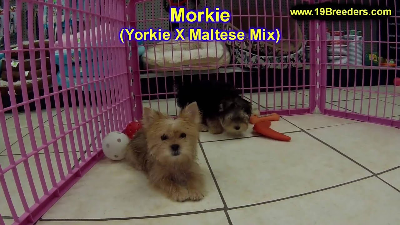 Morkie, Puppies, Dogs, For Sale, In Memphis, Tennessee, TN ...