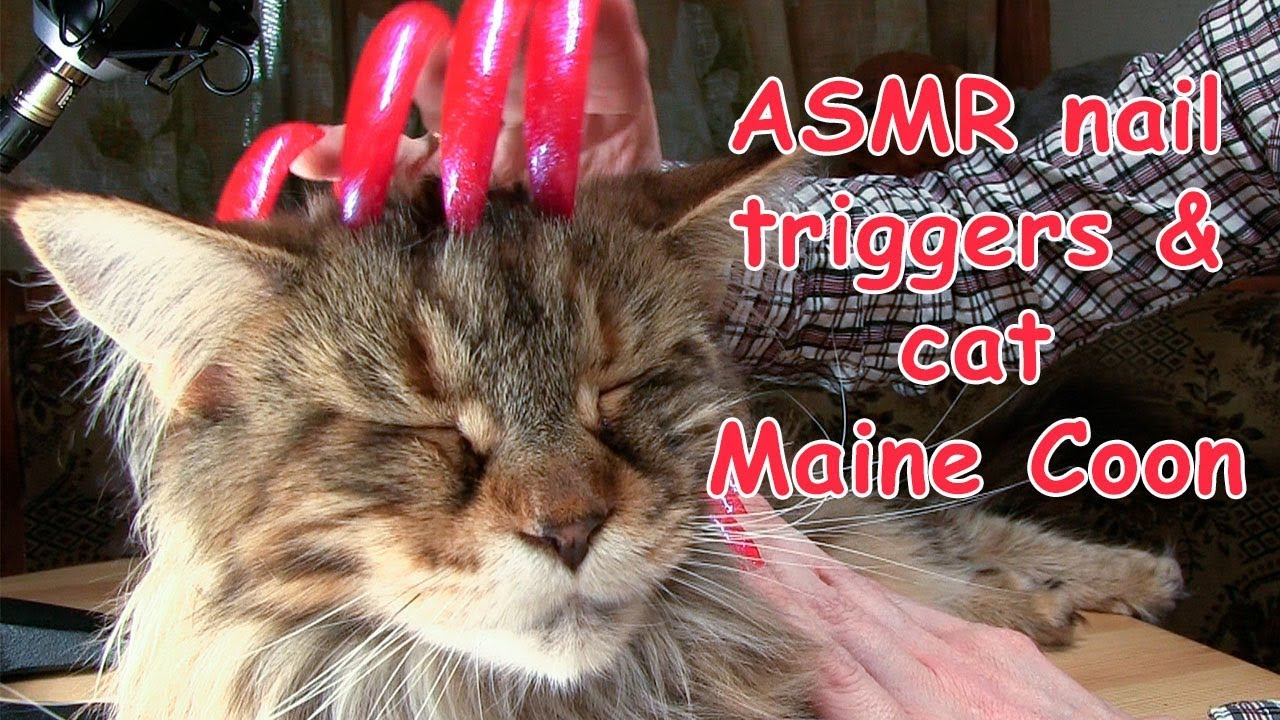 ASMR SOUND NAILS TRIGGER SCRATCHING & TAPPING CAT MAINE COON