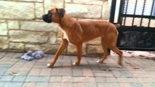 Pulled By Austin Boxer Rescue - Young Female Boxer Mix In Need Of Rescue