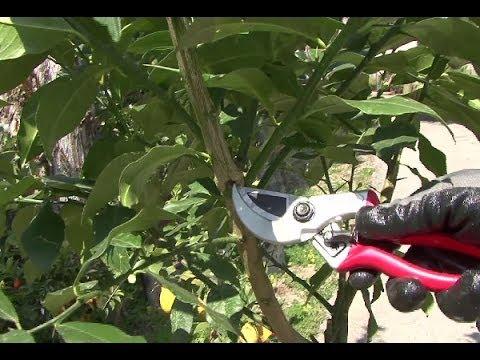 Come potare il limone - potatura - Potare pianta limone