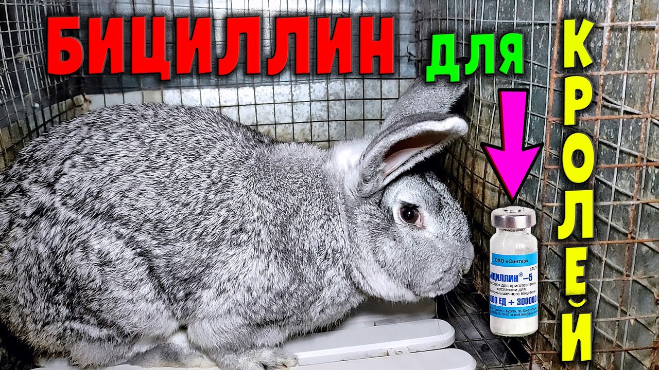 Как применять БИЦИЛЛИН для кроликов