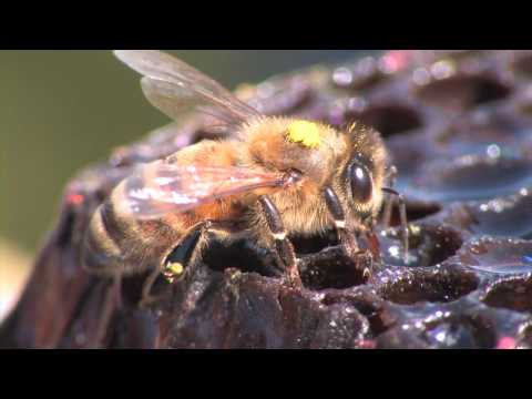 Bee Hunting: Finding a Wild Colony of Honey Bees