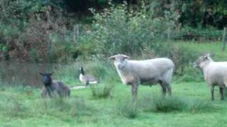 English Sheep Befriend Lonely Canada Goose