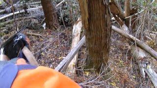 単犬単独の猪猟です。使っているのは紀州犬(メス、4才)。普段は透け山...