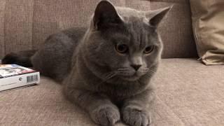 Британская короткошёрстная - Все о нашем коте в 2 года | Уход и кормление