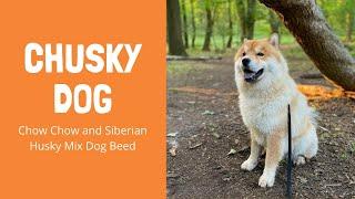 Chusky dog | Chow Chow and Siberian Husky Mix Dog Beed