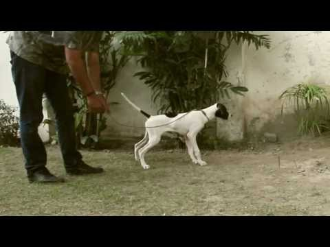 English Pointer Training – Yard work – Check Cording