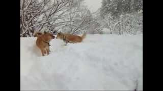 飼い犬の親子ケンカ(じゃれあい)です。雪だらけですが元気いっぱいです...