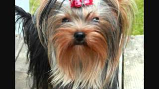 Let's Talk Yorkie ... Our Puppies Speak For Themselves!