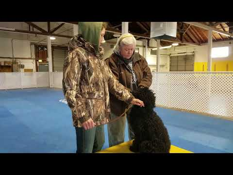 Portuguese Water Dog obedience training