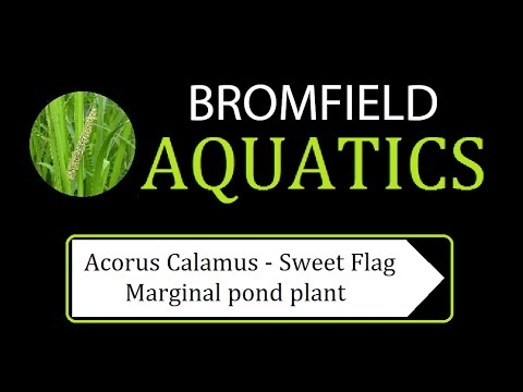 Acorus Calamus - Sweet flag Marginal aquatic pond plant