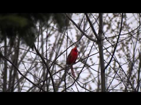 Cardinal singing out side my house.
