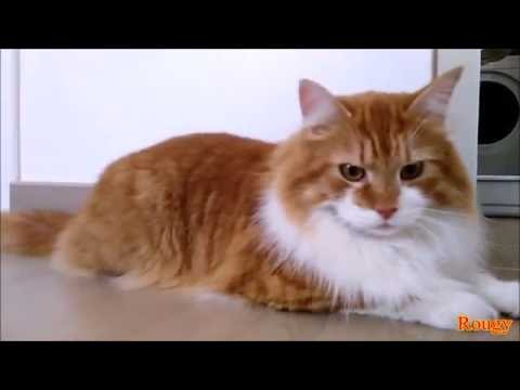 Siberian Cat, Rougy The Youtuber