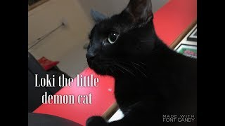 Loki the little demon cat