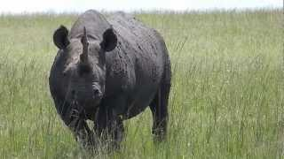 Big Black Rhino - Masai Mara - Near Matira Bush Camp - Part 2
