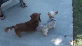 For Sally: Cute Little Doggies: Yorkie & Dachshund