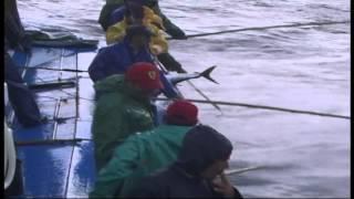 A pesca do atum - Madeira