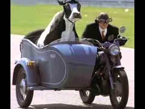 los vikings5-la vaca blanca