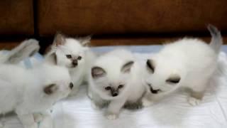 Третий помет бирманских котят питомника кошек PCA БЕЛЫЕ ЛАПКИ