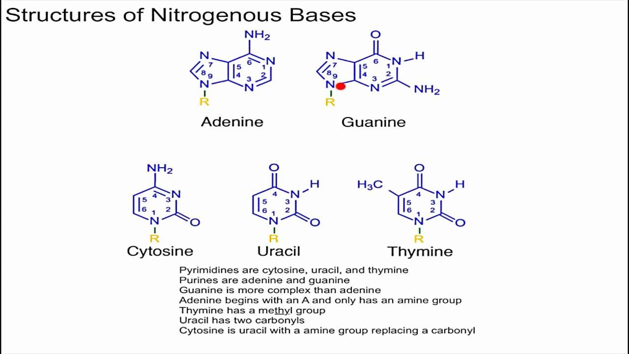 small resolution of structure of nitrogenous bases