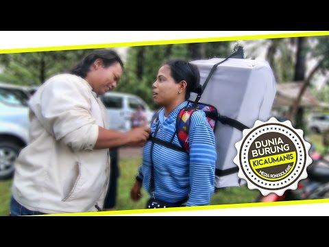 DUNIA HOBI : Istri Pembawa Berkah Rezeki Kicaumania - Kamu Yang Kutunggu (Lirik)